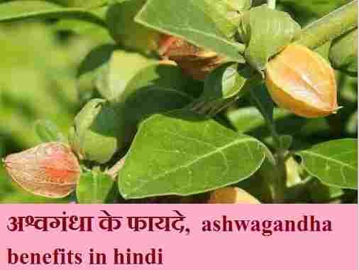 अश्वगंधा के फायदे, नुक्सान और सेवन का तरीका, ashwagandha benefits in hindi