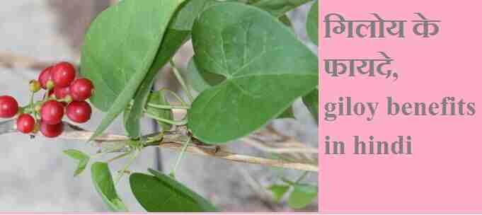 गिलोय के फायदे, नुक्सान और सेवन का तरीका, giloy ka fayda, giloy benefits in hindi