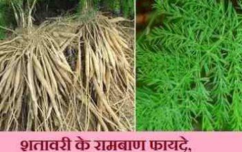 shatavari benefits in hindi