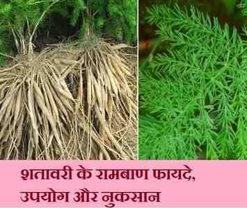 शतावरी के फायदे, उपयोग और नुकसान, shatavari churn 12 benefits in hindi